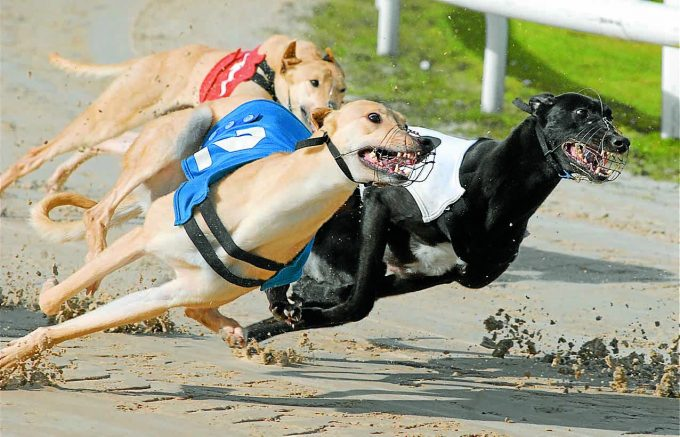 RACE ACTION . . . greyhounds power round the Gretna track during the Dash Final on Sunday DNGc100BA