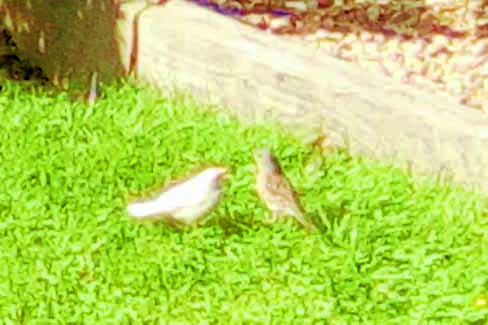 RARE BIRD . . . a rare albino sparrow spotted in an Annan has sadly been killed, but an albino starling continues to be sighted