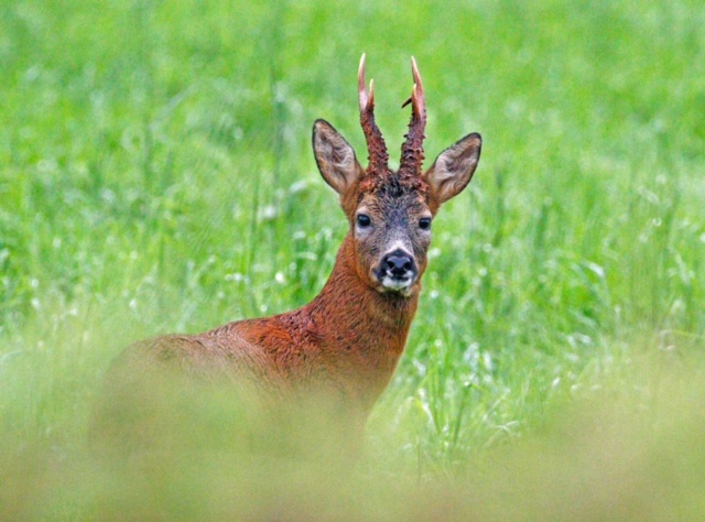 STUNNING . . .  Suzanne Storm captured this image of a roe deer near her Moffat home recently   *** Local Caption *** STUNNING . . .  Suzanne Storm captured this image of a roe deer near her Moffat home recently