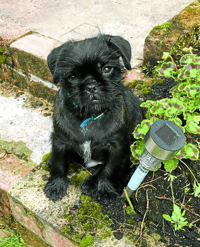 PUG PUPPY POWER . . . Toto gave his family a scare when he missed his first Christmas and went missing for two days