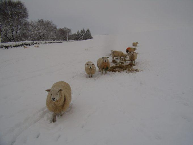 Sheep in the snow at Boreland