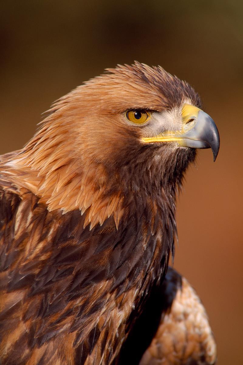 Breeding blueprint for golden eagle