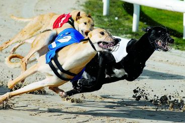 GREYHOUNDS: Two fancies for festive final