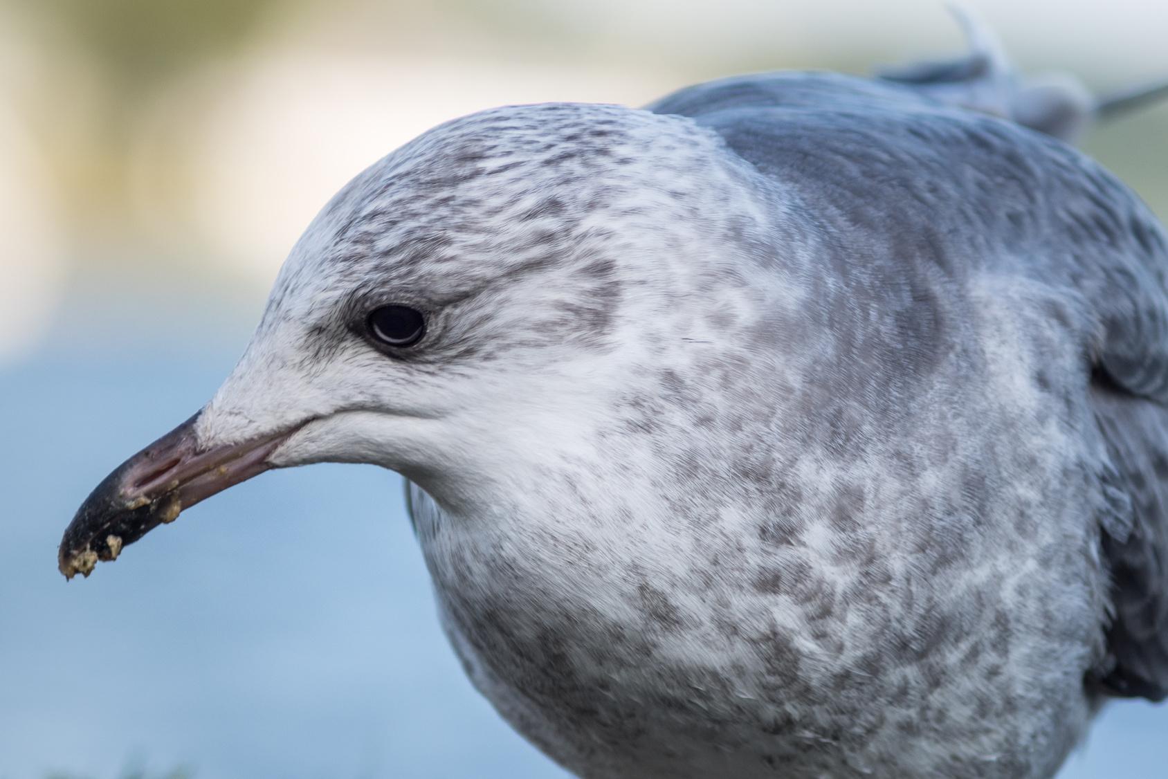 Gulls need Government response, says MSP