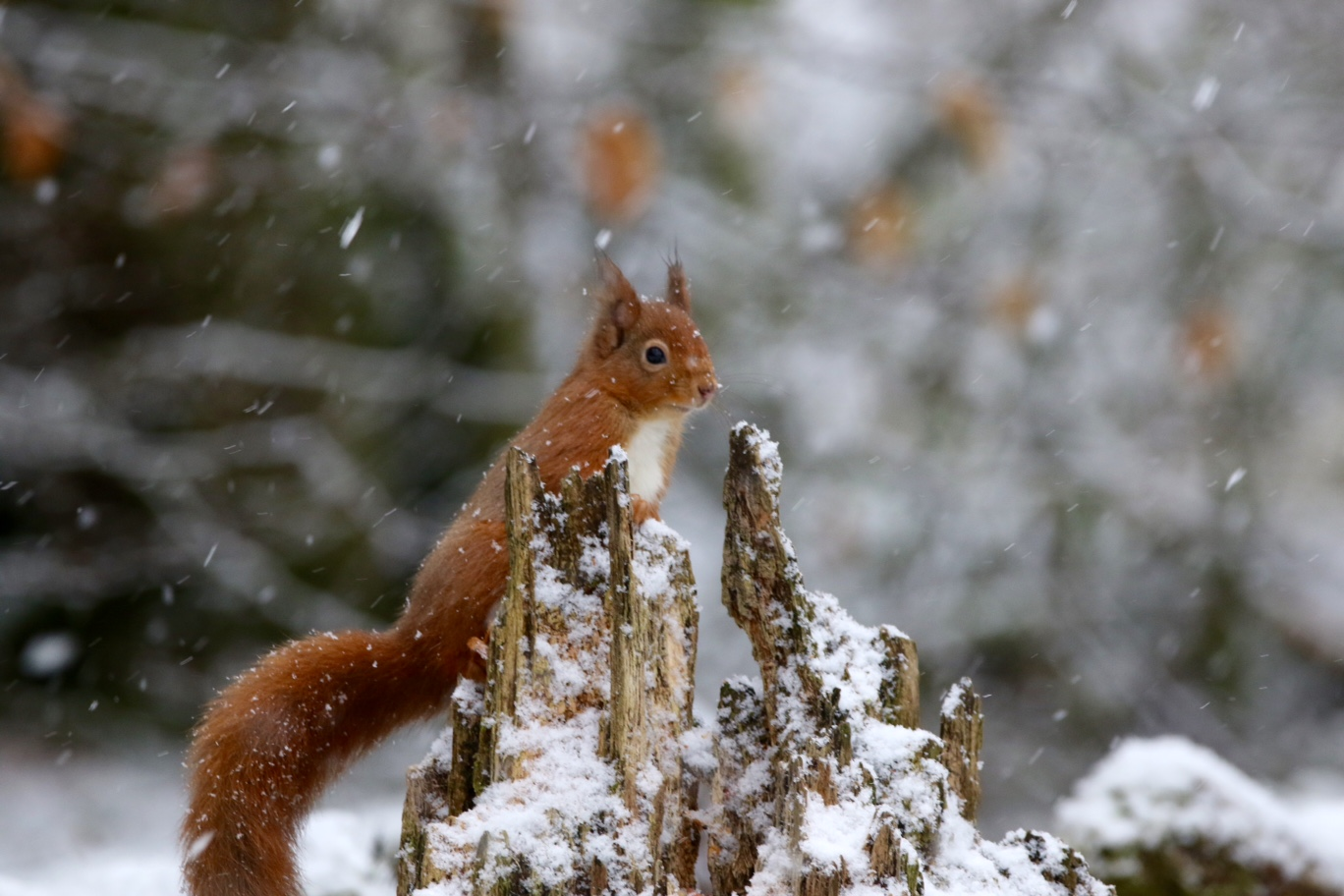 Red alert for squirrel numbers
