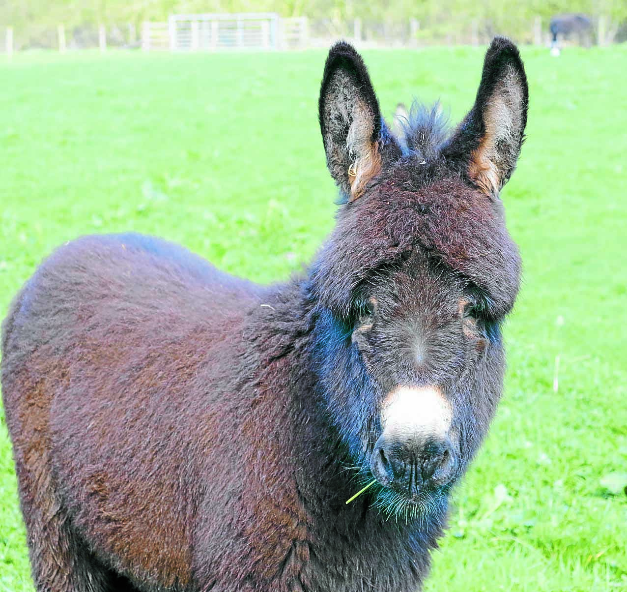 Ghost horse pops up in donkey photo - can you see it?