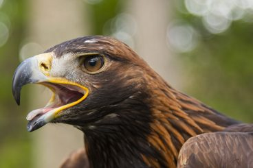 Golden eagles are soaring locally