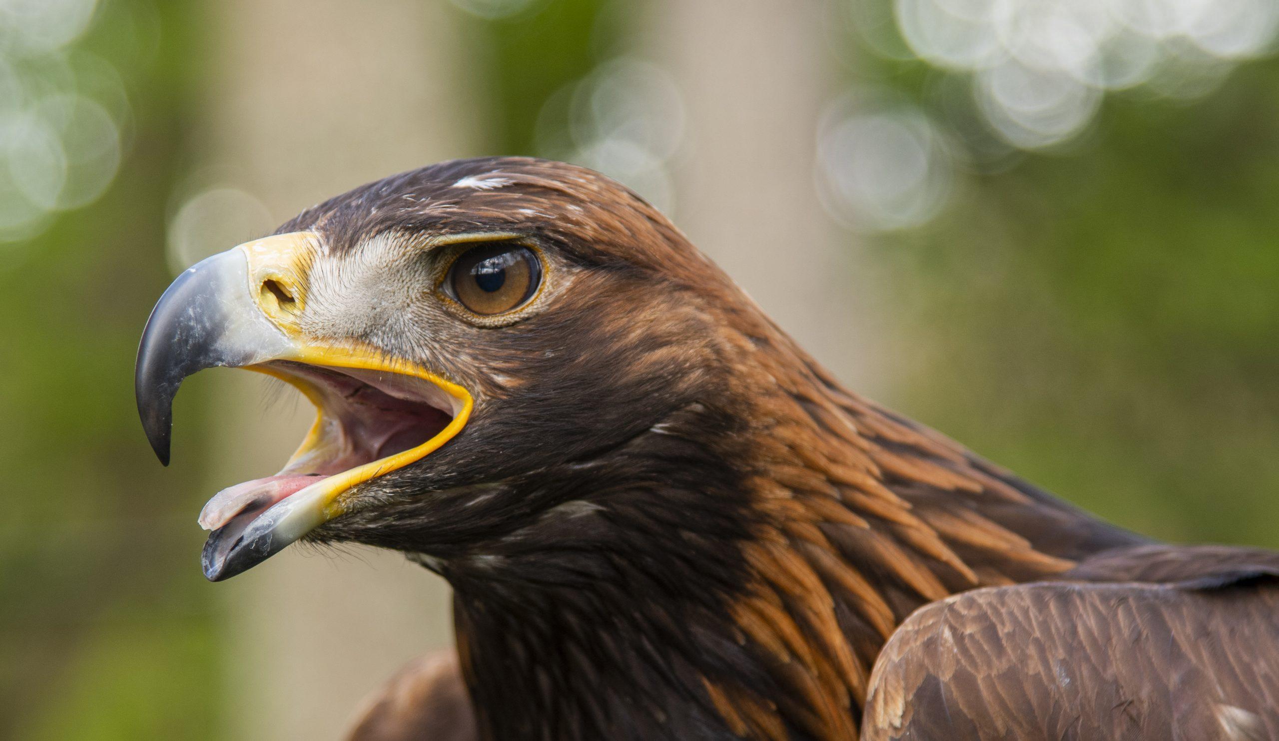 Plans revealed  for autumn  eagle festival