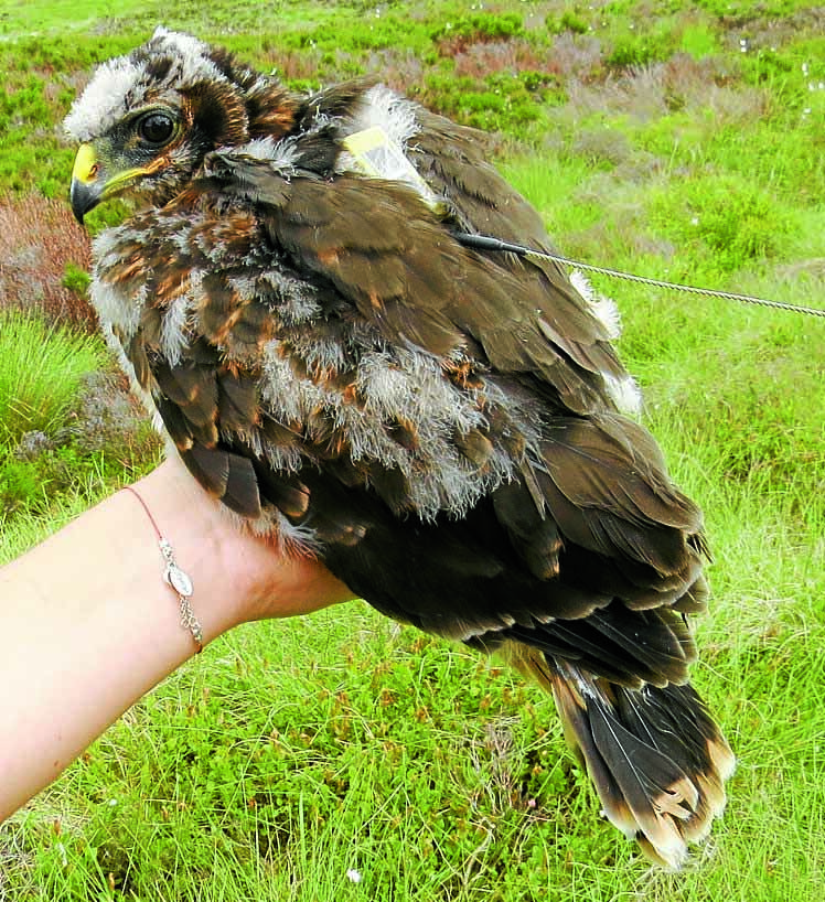 Concern for hen harriers