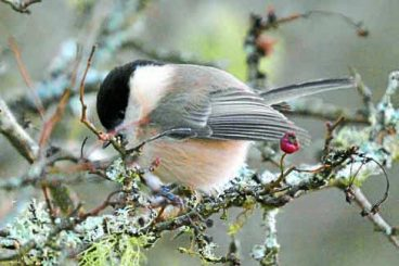Protecting the willow tit