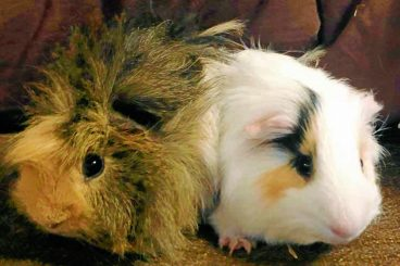 Forever homes sought for guinea pig pairs