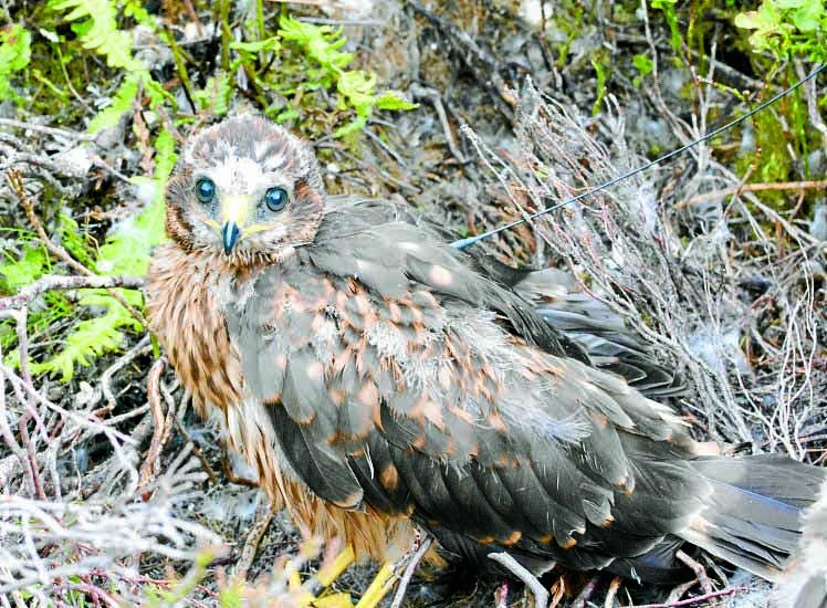 Concern as another hen harrier goes missing