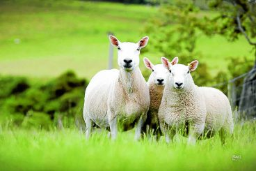 Breed's popularity grows in South West