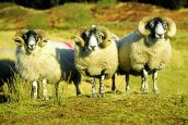 Putting the 'oo' back into local wool