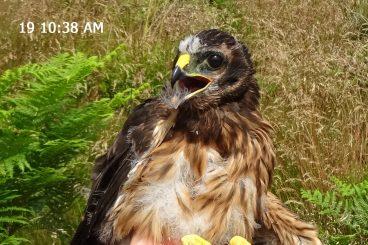 Concern for missing hen harrier