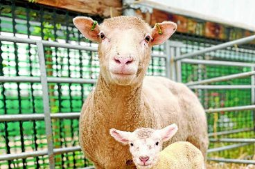Autumn lambs welcomed